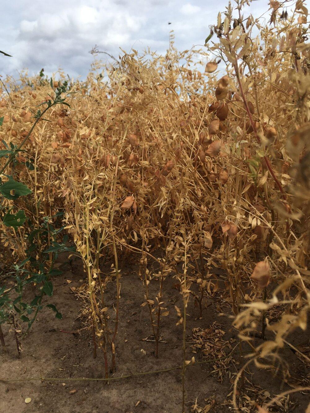 c9960542076 Madis Ajaots: soe suvi soosis uute kaunviljakultuuride kasvatust