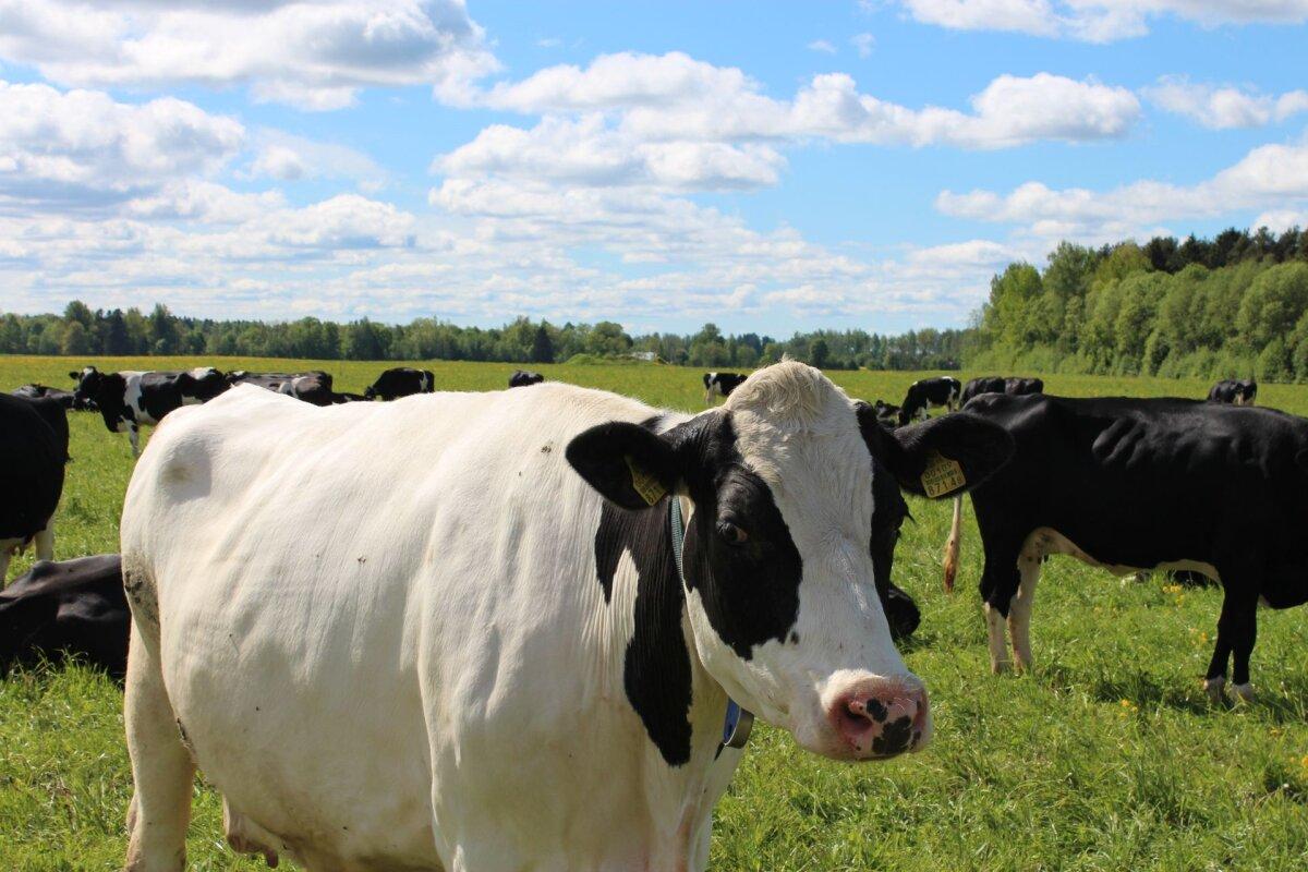 Börs: Piima rekordiliselt pikk hinnatõus sai läbi